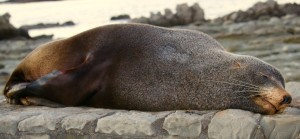 seal resting